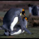 penguins screwing