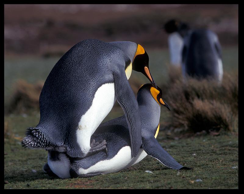 Пингвины секс