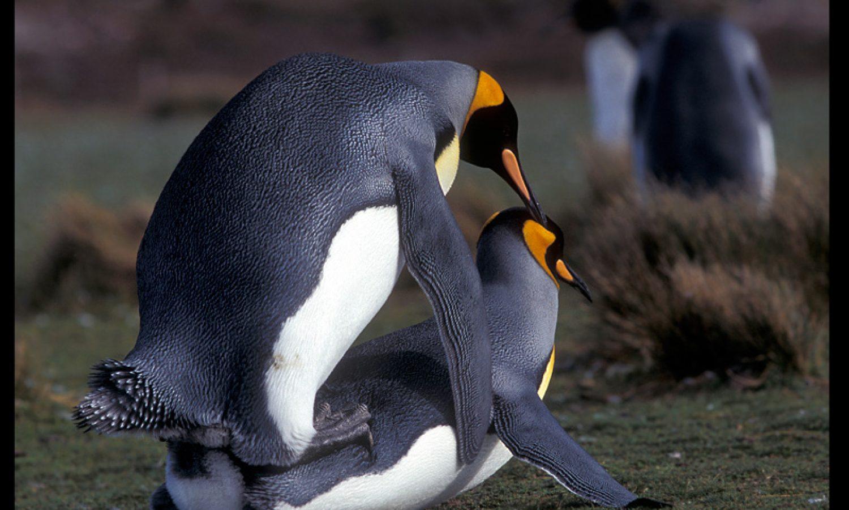 penguins screwing